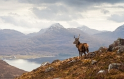 Stag on hillside